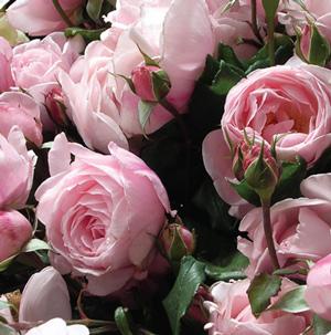 trandafirii-nahema