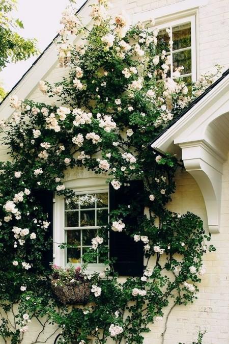 trandafiri-albi-cataratori-fatada
